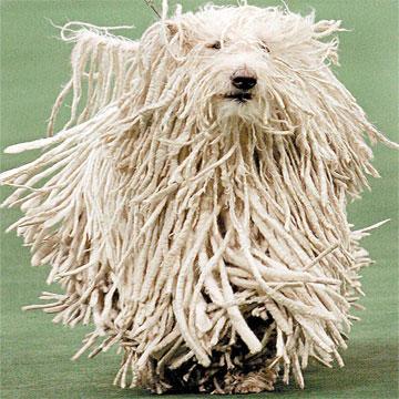 Σκύλος φλοκάτη