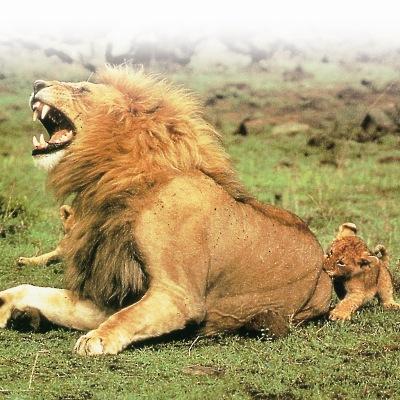 Λιοντάρι, ο Βασιλιάς της Ζούγκλας