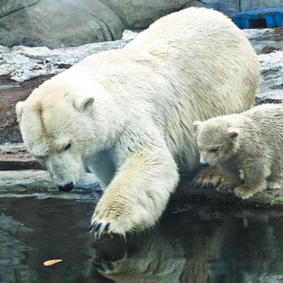 Αρκούδες. Που ζουν και από ποιους κινδυνεύουν.