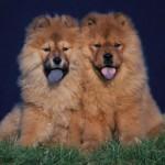 Σκύλος: Ποια Ράτσα θα Διαλέγατε;
